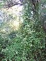 Mikania cordifolia- Río Negro, Palmar, Trepadora bajo bosque ribereño al margen del Río Negro 13.JPG