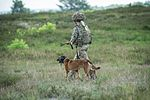 Military Working Dogs undergo Live Fire Tactical Training. MOD 45160281.jpg