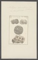 Millepora agariciformis - - Print - Iconographia Zoologica - Special Collections University of Amsterdam - UBAINV0274 111 07 0018.tif