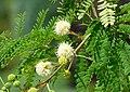 Mimoza. Leucaena leucocephala. 02.jpg