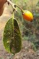 Mimusops elengi fruit 04.JPG
