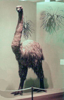 Moa in Wellington Museum.jpg
