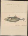 Monacanthus ayraudi - 1700-1880 - Print - Iconographia Zoologica - Special Collections University of Amsterdam - UBA01 IZ15400161.tif