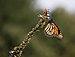 Monarch butterfly (70389).jpg