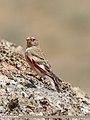 Mongolian Finch (Bucanetes mongolicus) (46166238485).jpg