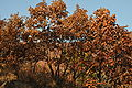 Mongolian Oak in October.jpg