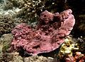 Montipora tuberculosa.jpg