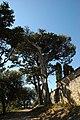 Montolieu - Cyprès Remarquables 3.jpg