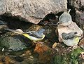 Motacilla cinerea (Grey Wagtail) am.jpg