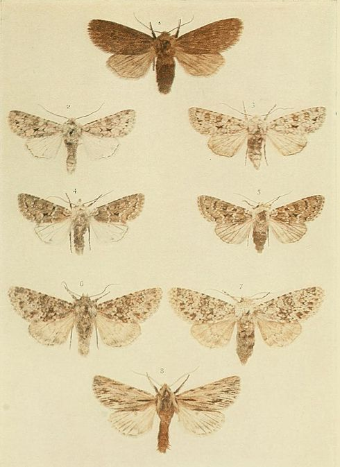 Moths of the British Isles Plate138.jpg