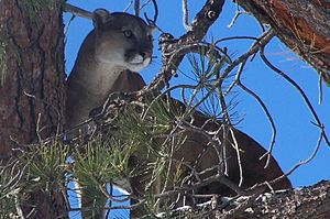 Datil Mountains - Image: Mountain Lion On Mt Taylor USFS