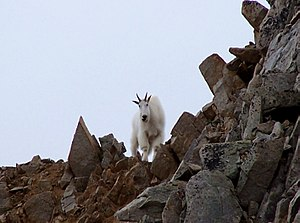 Rotating locomotion in living systems - A mountain goat navigating a rocky landscape. Mountain goats illustrate the versatility of legs in challenging terrain.