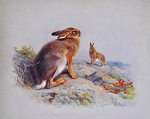 "Mountain hare - ""Mountain, Irish Hare"" illustration from ""British Mammals"" by A. Thorburn, 1920"
