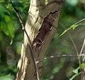 Mouse Lemur (Microcebus sp.) (M. murinus or M. ravelobensis ?) (44444094255).jpg