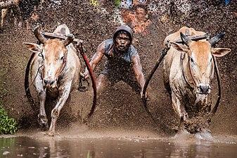 Mud Cow Racing - Pacu Jawi - West Sumatra, Indonesia.jpg