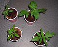 Mullaways Seedlings.jpg