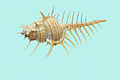 Murex pecten, blue background.jpg