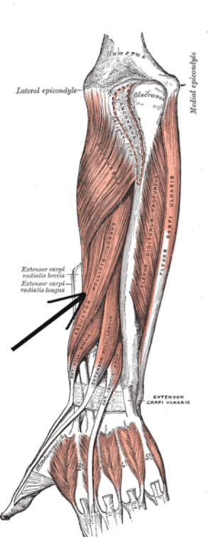 Abductor pollicis longus muscle - Deep muscles of posterior surface of the forearm