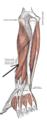 Musculusabductorpollicislongus.png