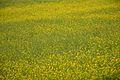 Mustard Plant - Baduria - North 24 Parganas 2016-12-31 2351.JPG