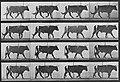 Muybridge, Eadweard - Gehender Ochse (0.46 Sekunden) (Zeno Fotografie).jpg