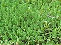 Myriophyllum aquaticum habit5 (15106151147).jpg