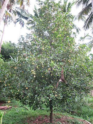 Myristica fragrans - Bearing fruit