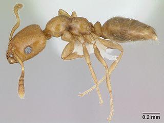 <i>Myrmelachista</i> Genus of ants