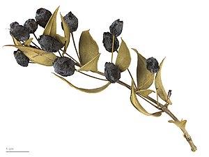Myrtus - Myrtus communis - MHNT