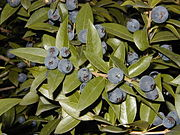 Myrtus communis RJB.jpg