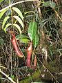 N.edwardsiana stem.jpg