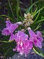 N20160714-0003—Chilopsis linearis ssp arcuata—RPBG (28406855516).jpg