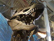 The head of the cast life-size T-Rex