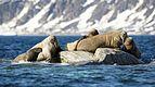 NOR-2016-Svalbard-Sjuøyane-Phippsøya-Atlantic Walrus (Odobenus rosmarus rosmarus) 03.jpg
