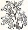 NSRW Fig Plant.jpg