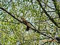 Na gałęzi - panoramio.jpg