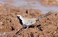 Namaqua dove, Oena capensis, at Mapungubwe National Park, Limpopo, South Africa (18089238635).jpg