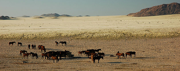 Namibie Chevaux Sauvages 01.jpg
