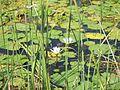 Nandurmadhmeshwar Lily Pond.jpg