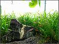 Nano-Aquarium mit Boraras brigittae.JPG
