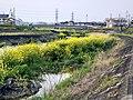 Nanohana in Utsutsu river - 2.jpg