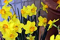 Narcissus Ceylon 3zz.jpg