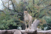 cheetah atop a platform, facing camera