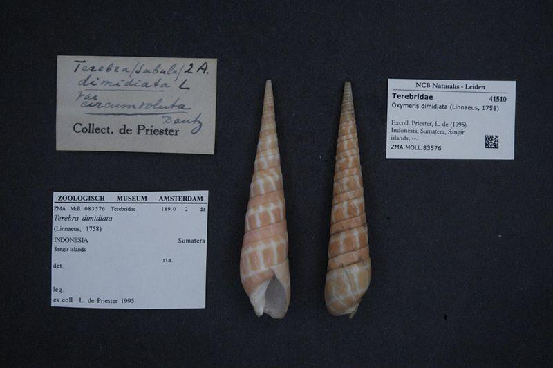 File:Naturalis Biodiversity Center - ZMA.MOLL.83576 - Oxymeris dimidiata (Linnaeus, 1758) - Terebridae - Mollusc shell.jpeg