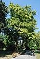 Naturdenkmal 567 GuentherZ 2010-08-25 0129 Wien01 Rathauspark Platane.JPG