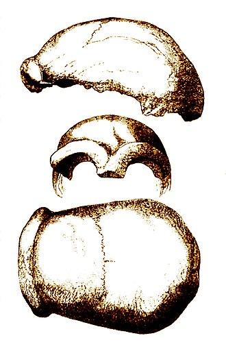 Neanderthal 1 - Type specimen, Neanderthal 1