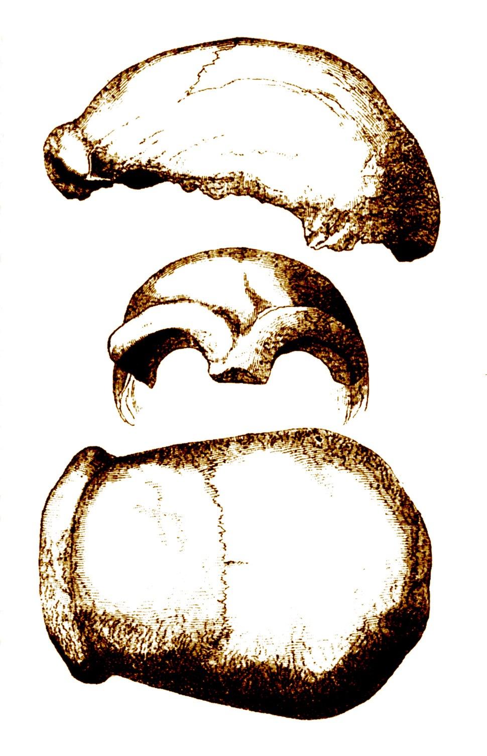 Neandertal 1856.jpg