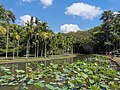 Nelumbo nucifera pond Mauritius 2019-09-27 2.jpg