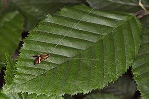 Nemophora degeerella, Lodz(Poland)04(js).jpg