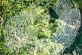Nephila senegalensis in web.jpg